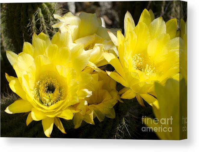 Cactus Canvas Print featuring the photograph Yellow Cactus Flowers by Jim And Emily Bush