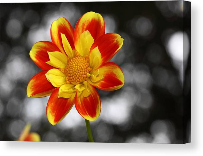 Flower Canvas Print featuring the photograph Dahlia Sun by Paul Slebodnick