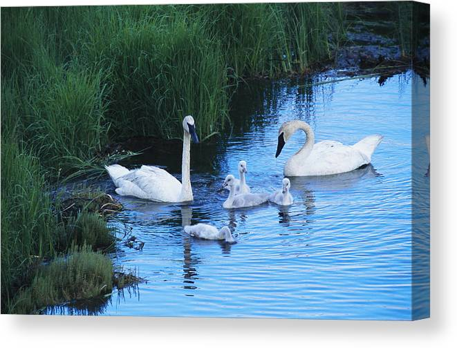 Animals Canvas Print featuring the photograph A Family Of Trumpeter Swans Swims by Melissa Farlow