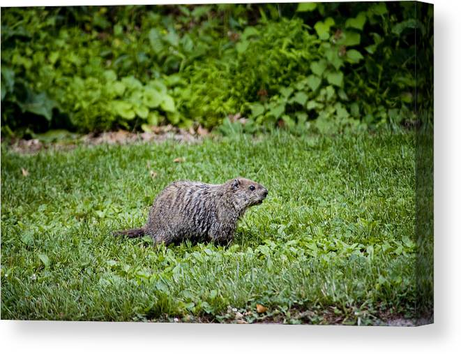 Gettysburg Canvas Print featuring the photograph A Groundhog Marmota Monax Enjoys A Meal by Stephen St. John