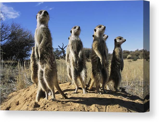 Animals Canvas Print featuring the photograph A Group Of Meerkats Standing Guard by Mattias Klum