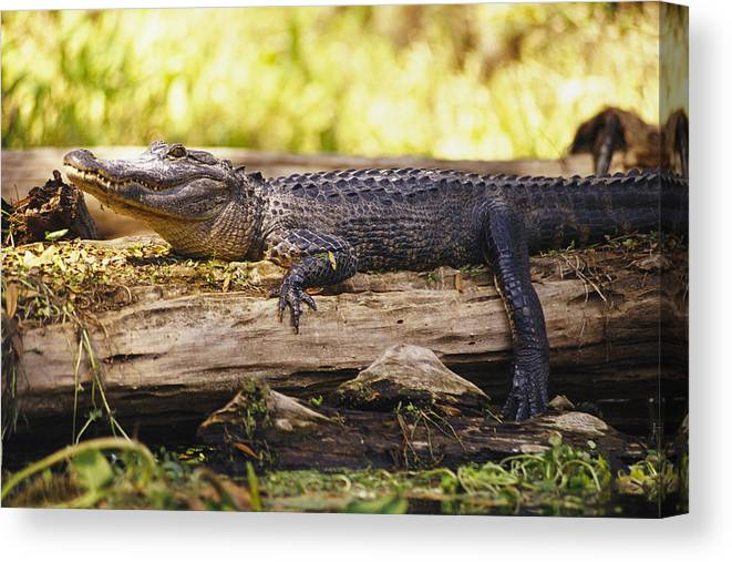 Animals Canvas Print featuring the photograph An American Alligator On A Log by Richard Nowitz