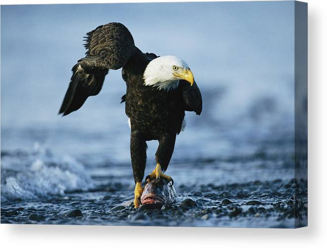American Bald Eagle Claws Wildlife Wall Picture Art Print