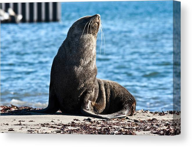 Antarctic Wildlife Canvas Print featuring the photograph Antarctic Fur Seal 06 by David Barringhaus