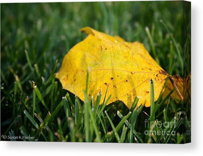 Outdoors Canvas Print featuring the photograph Aspen Leaf by Susan Herber