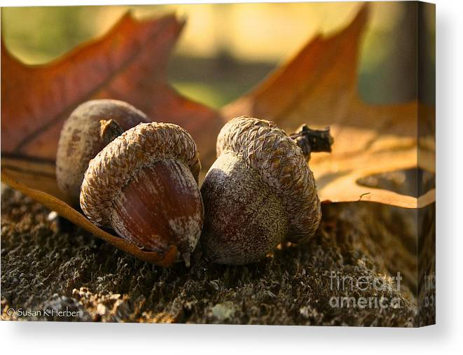 Outdoors Canvas Print featuring the photograph Autumn Acorns by Susan Herber