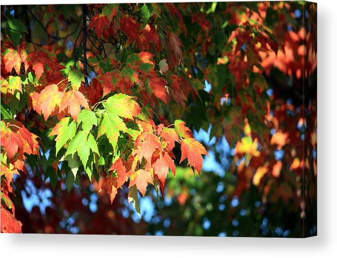 Autumn Canvas Print featuring the photograph Autumn Color Medley by Julia Mayo