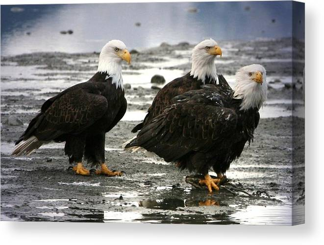 Bald Eagle Canvas Print featuring the digital art Bald Eagle Trio by Carrie OBrien Sibley