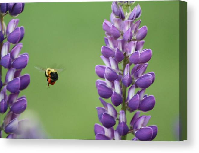 Bee Canvas Print featuring the photograph Bee On Lupine 2 by Deb Kline
