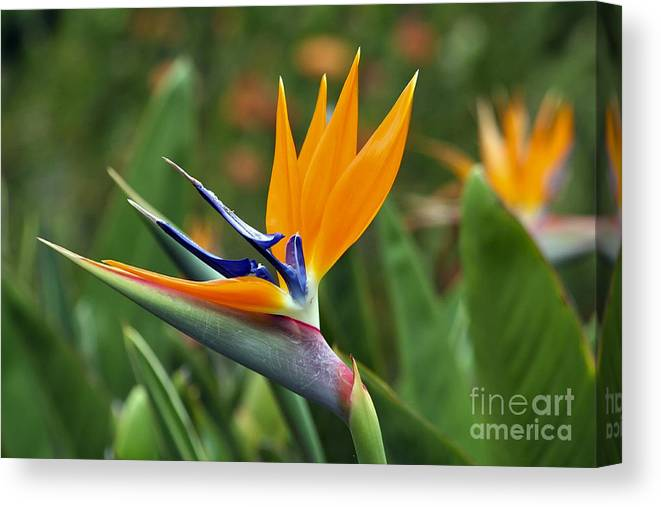 Flower Canvas Print featuring the photograph Bird Of Paradise by Teresa Zieba