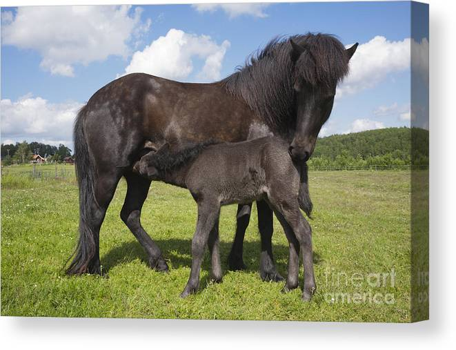Child Canvas Print featuring the photograph Black Icelandic Horse With Foal by Kathleen Smith