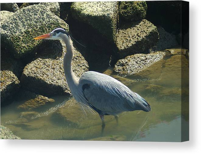 Blue Canvas Print featuring the photograph Blue Heron by David Armentrout