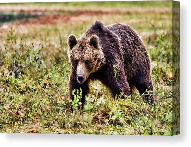 Bear Canvas Print featuring the painting Brown Bear 210 by Dean Wittle