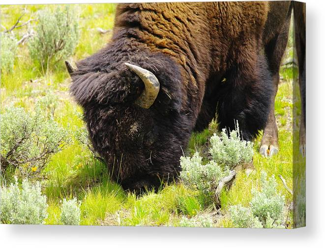 Bison Canvas Print featuring the photograph Buffalo Grazing by Jeff Swan