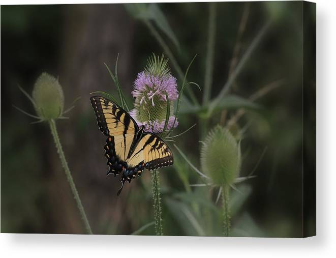 Butterfly Canvas Print featuring the digital art Butterfly On Thistle by Sharon Batdorf