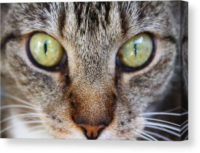 Cat Canvas Print featuring the photograph Cat Eyes by Catie Canetti
