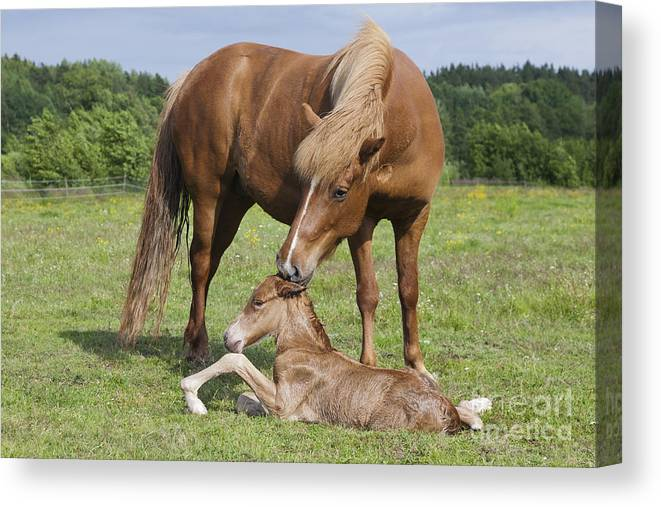 Baby Canvas Print featuring the photograph Chestnut Icelandic Horse With Newborn Foal by Kathleen Smith