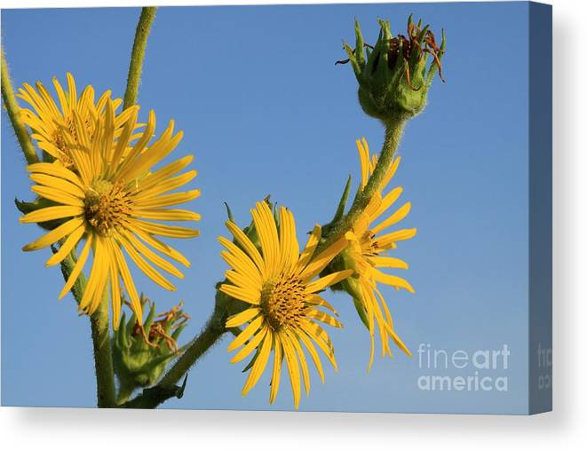 Wildflower Canvas Print featuring the photograph Compass Plant by Rick Rauzi