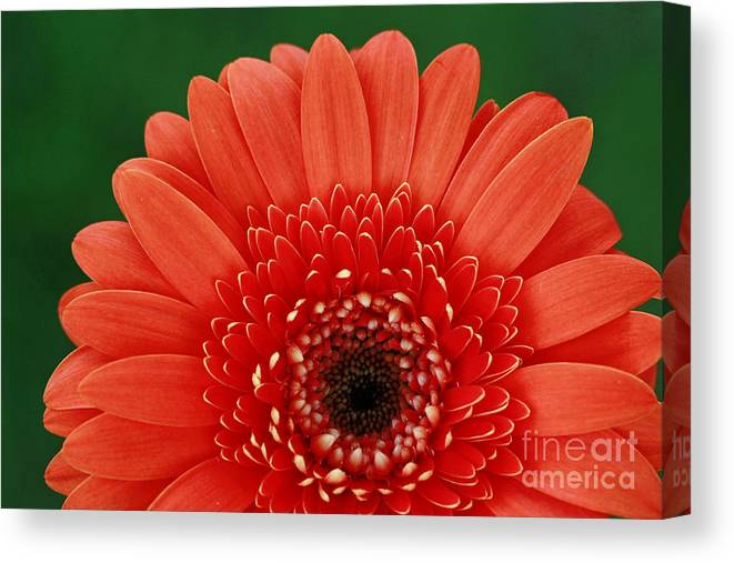 Gerber Canvas Print featuring the photograph Delightful Gerber Daisy by Inspired Nature Photography Fine Art Photography