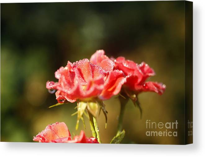 Dews Canvas Print featuring the photograph Dew Drops by Yumi Johnson
