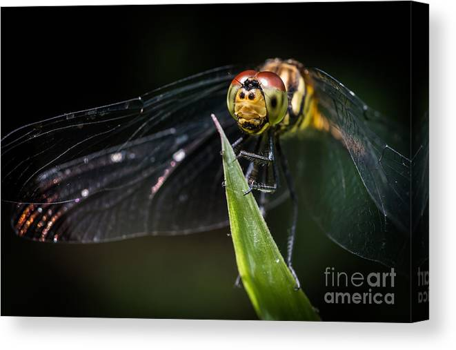 Japan Canvas Print featuring the photograph Dragonfly by Samuel Levine