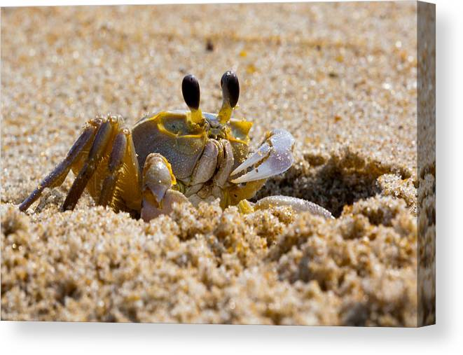 America Canvas Print featuring the photograph Fiddler Crab by David Hahn