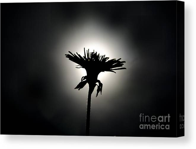 Flower Canvas Print featuring the photograph Flower In Backlight by Mats Silvan
