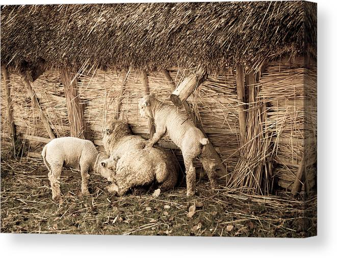 Lamb Canvas Print featuring the photograph Get Up Mum by Dawn OConnor