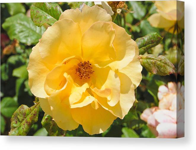 Flower Canvas Print featuring the photograph Golden by Jessica Terra