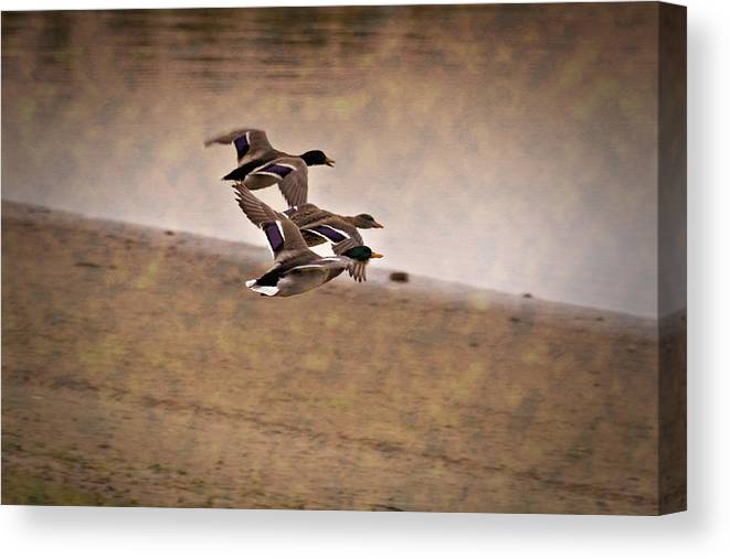 Ducks In Flight Canvas Print featuring the photograph Grouping V1 by Douglas Barnard