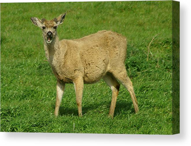 Deer Canvas Print featuring the photograph Hey Pal by David Armentrout