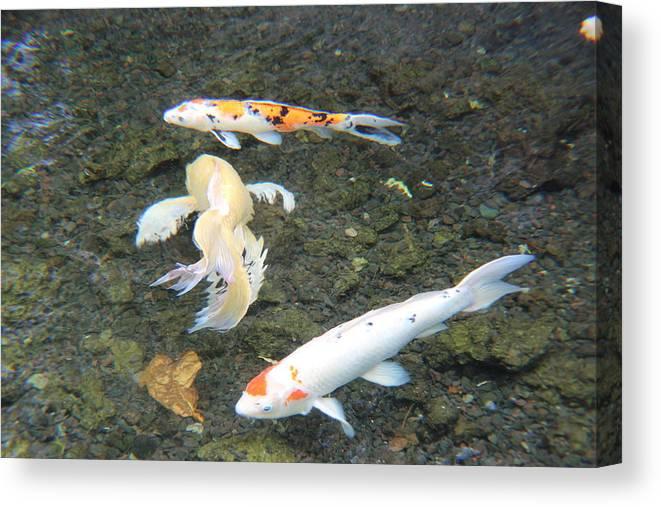 Koi Pond Canvas Print featuring the photograph Koi Fish by Raquel Amaral