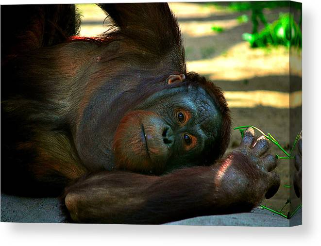 Monkey Canvas Print featuring the photograph Lazy Days by Jessica Terra