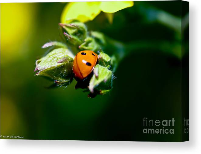Ladybug Canvas Print featuring the photograph Little Lady by Mitch Shindelbower