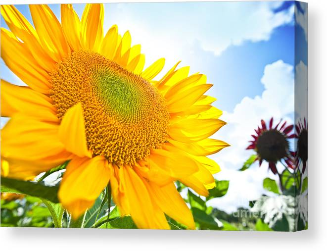 Agriculture Canvas Print featuring the photograph Looking Up by Juriah Mosin