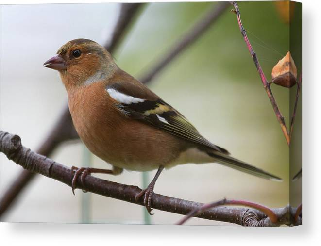 Male Chaffinch Canvas Print featuring the photograph Male Chaffinch by Celine Pollard