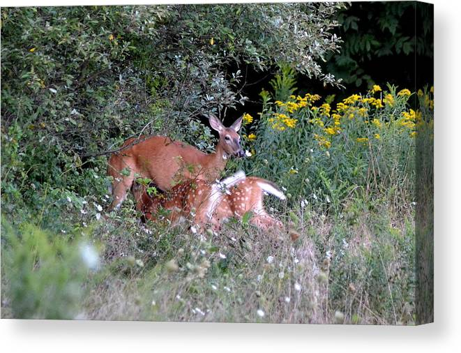 Deer Canvas Print featuring the photograph Mom And Babies by Lisa Jaworski
