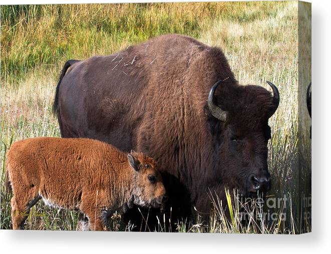 American Buffalo Canvas Print featuring the photograph Mother And Calf by Sue Karski