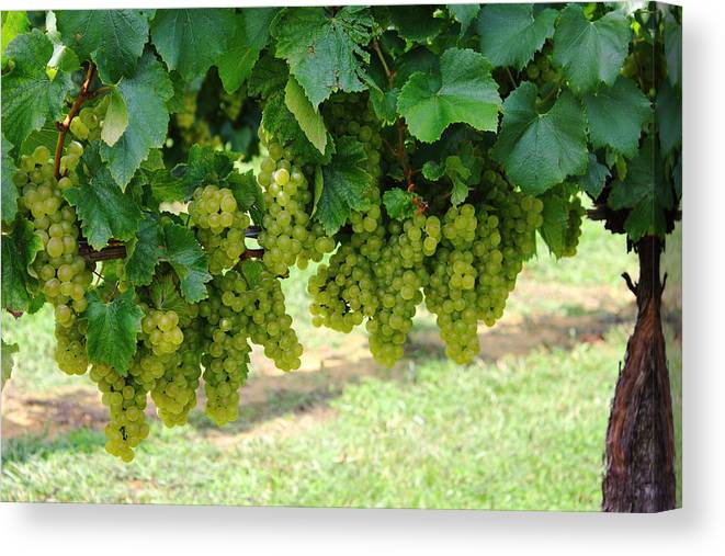 Grapes Canvas Print featuring the photograph On The Vine - Before The Wine by Andrew Montgomery