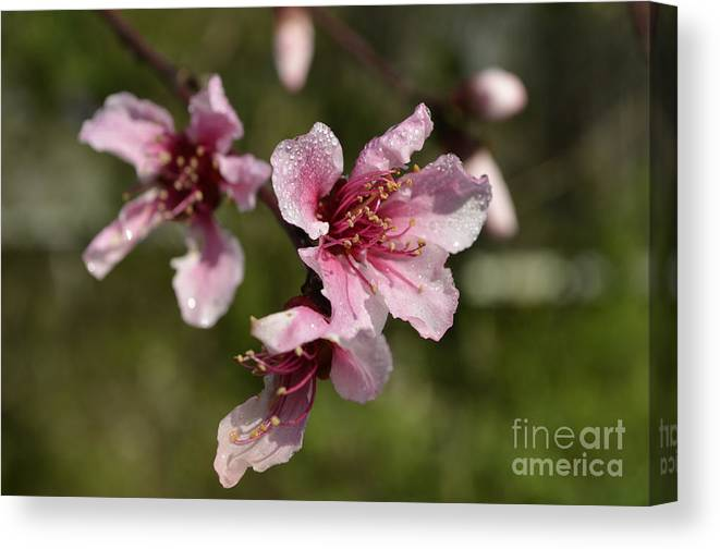 Flower Canvas Print featuring the photograph Peach Blossom Clusters by Donna Brown