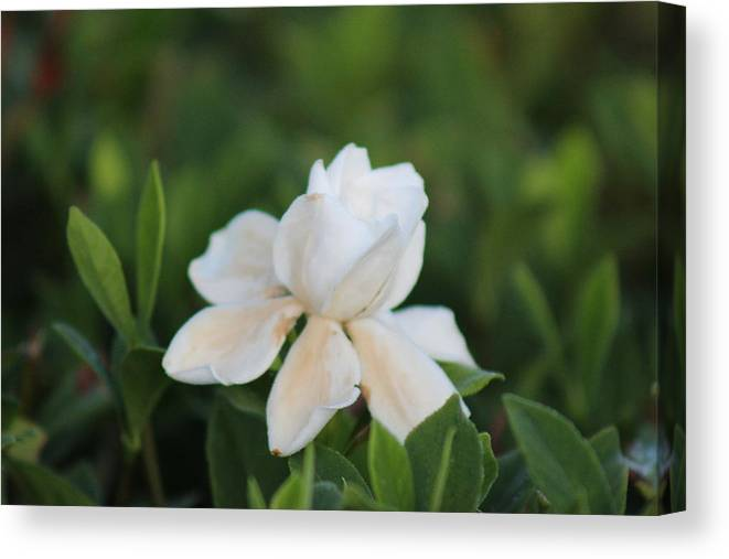 Flower Canvas Print featuring the photograph Purity by Mike Wilber