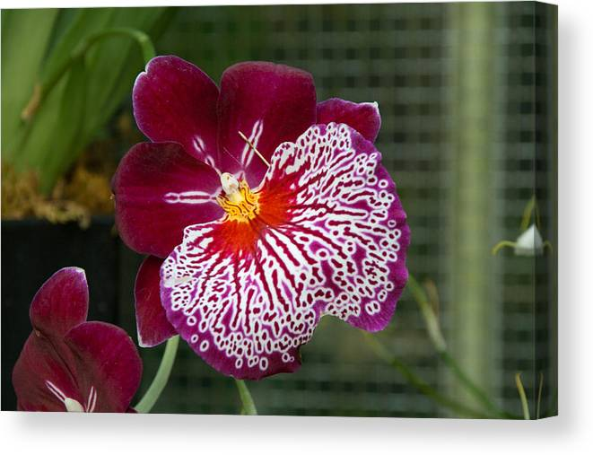 Flower Canvas Print featuring the photograph Purple Pansy by Richard Balison