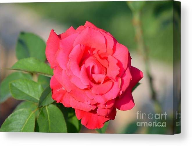 Rose Canvas Print featuring the photograph Rose In The Morninglight by Maria Urso