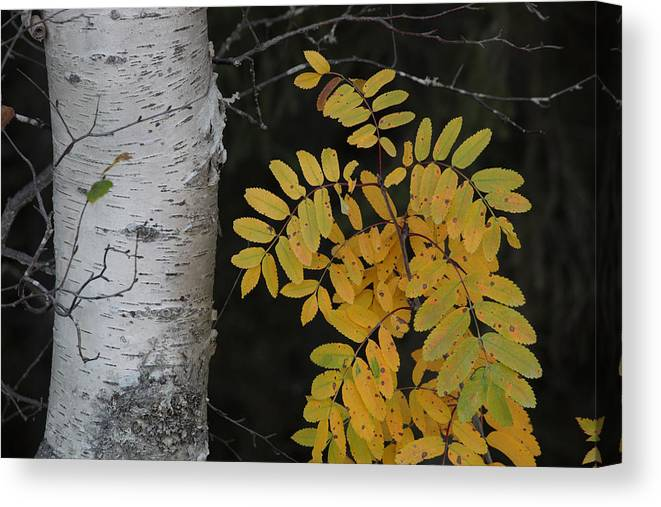 Nature Canvas Print featuring the photograph Rowan Sapling In Autumn by Ulrich Kunst And Bettina Scheidulin
