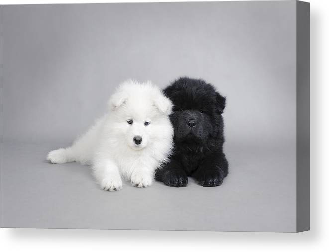 Samoyed And Chow Chow Puppies Canvas Print Canvas Art By Waldek