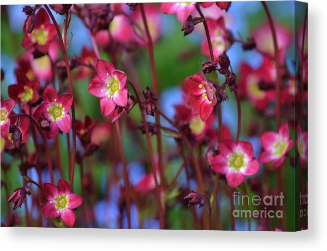 Purple Canvas Print featuring the photograph Saxifraga by Art Kleisen