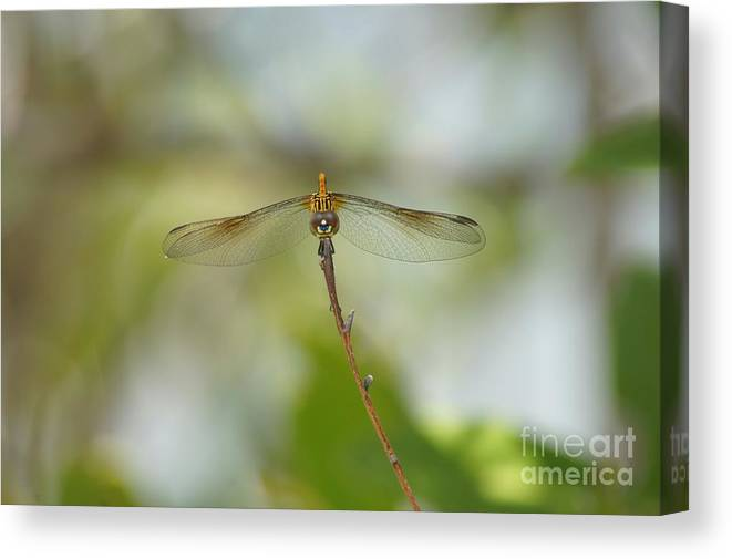 Seaside Dragonlet Canvas Print featuring the photograph Seaside Dragonlet by Lynda Dawson-Youngclaus