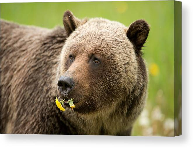 Grizzly Bear Canvas Print featuring the photograph Small Meal For A Grizzly Bear by Donna Caplinger