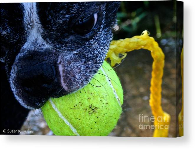 Pet Canvas Print featuring the photograph Stink Eye by Susan Herber