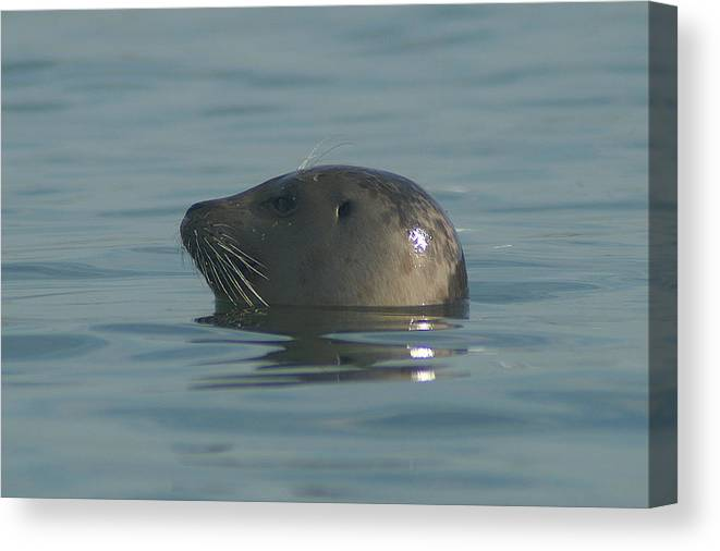Seal Canvas Print featuring the photograph Strike A Pose by David Armentrout